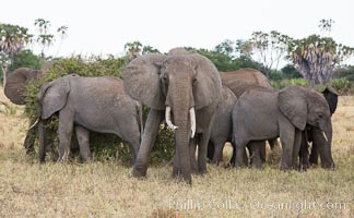 African elephant herd, Meru National Park, Kenya., Loxodonta africana, natural history stock photograph, photo id 29749