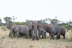 African elephant herd, Meru National Park, Kenya. Meru National Park, Kenya, Loxodonta africana, natural history stock photograph, photo id 29751