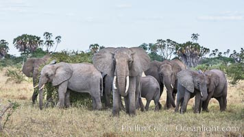 African elephant herd, Meru National Park, Kenya, Loxodonta africana