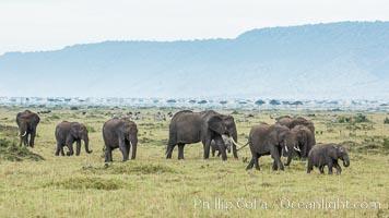 African elephant herd, Maasai Mara National Reserve, Kenya, Loxodonta africana