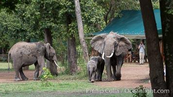 African elephant, Maasai Mara National Reserve, Kenya, Loxodonta africana