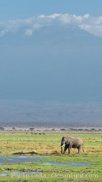 African elephants below Mount Kilimanjaro, Amboseli National Park, Kenya, Loxodonta africana