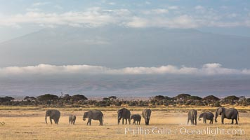 African elephants below Mount Kilimanjaro, Amboseli National Park, Kenya. Amboseli National Park, Kenya, Loxodonta africana, natural history stock photograph, photo id 29603