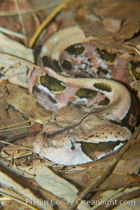 African gaboon viper camouflage blends into the leaves of the forest floor.  This heavy-bodied snake is one of the largest vipers, reaching lengths of 4-6 feet (1.5-2m).  It is nocturnal, living in rain forests in central Africa.  Its fangs are nearly 2 inches (5cm) long, Bitis gabonica