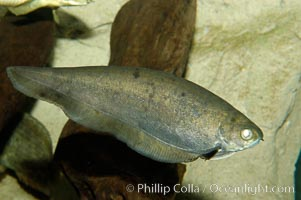African knifefish, a freshwater fish native to the river and coastal river basins of West Africa, Xenomystus nigri