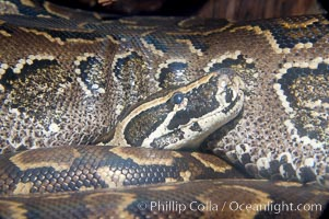 African rock python.  The largest of the African snakes, this python can measure up to 28 feet (8.5m) in length