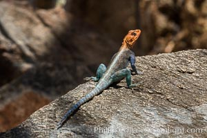 Agama Lizard, Meru National Park, Kenya. Meru National Park, Kenya, Agama, natural history stock photograph, photo id 29730