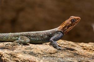Agama Lizard, Meru National Park, Kenya, Agama