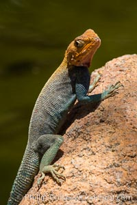 Agama Lizard, Meru National Park, Kenya. Meru National Park, Kenya, Agama, natural history stock photograph, photo id 29733