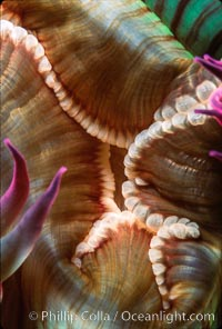 Anemone mouth. San Miguel Island, California, USA, Anthopleura elegantissima, natural history stock photograph, photo id 02484