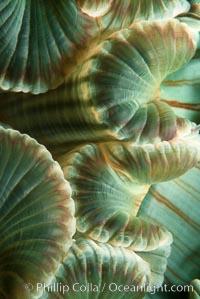 Aggregating anemone mouth detail. San Miguel Island, California, USA, Anthopleura elegantissima, natural history stock photograph, photo id 05302