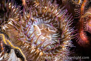 Aggregating anemones Anthopleura elegantissima on oil rigs, southern California, natural history stock photograph, photo id 35081