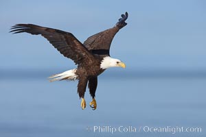 Bald eagle in flight, Kachemak Bay in background. Kachemak Bay, Homer, Alaska, USA, Haliaeetus leucocephalus, Haliaeetus leucocephalus washingtoniensis, natural history stock photograph, photo id 22594