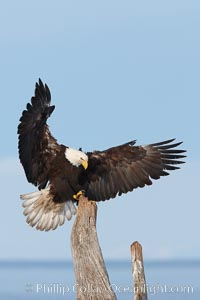 Image 22694, Bald eagle in flight, spreads its wings wide to slow before landing on a wooden perch. Kachemak Bay, Homer, Alaska, USA, Haliaeetus leucocephalus, Haliaeetus leucocephalus washingtoniensis, Phillip Colla, all rights reserved worldwide.   Keywords: accipitridae:alaska:animal:animalia:aves:bald eagle:bird:chordata:creature:eagle:falconiformes:flight:fly:flying:haliaeetus:haliaeetus leucocephalus:haliaeetus leucocephalus washingtoniensis:haliaeetus leucocephalus washintoniensis:homer:kachemak bay:leucocephalus:nature:northern bald eagle:usa:vertebrata:vertebrate:wildlife:wings.