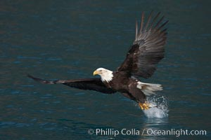Bald eagle makes a splash while in flight as it takes a fish out of the water, Haliaeetus leucocephalus, Haliaeetus leucocephalus washingtoniensis, Kenai Peninsula, Alaska