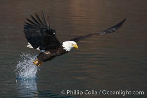 Bald eagle makes a splash while in flight as it takes a fish out of the water. Kenai Peninsula, Alaska, USA, Haliaeetus leucocephalus, Haliaeetus leucocephalus washingtoniensis, natural history stock photograph, photo id 22647