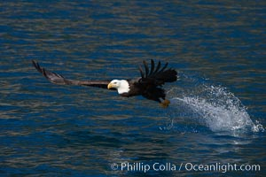 Bald eagle, makes a splash while in flight as it takes a fish out of the water, Haliaeetus leucocephalus, Haliaeetus leucocephalus washingtoniensis, Kenai Peninsula, Alaska