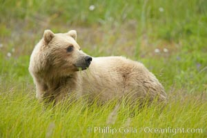 Coastal brown bear amid sedge grass, near Silver Salmon Creek, Ursus arctos, Lake Clark National Park, Alaska