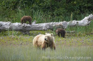 Brown bear female sow with spring cubs.  These cubs were born earlier in the spring and will remain with their mother for almost two years, relying on her completely for their survival, Ursus arctos, Lake Clark National Park, Alaska
