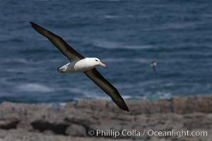 Black-browed albatross soaring in the air, near the breeding colony at Steeple Jason Island. Falkland Islands, United Kingdom, Thalassarche melanophrys, natural history stock photograph, photo id 24232