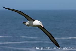 Black-browed albatross, in flight over the ocean.  The wingspan of the black-browed albatross can reach 10', it can weigh up to 10 lbs and live for as many as 70 years, Thalassarche melanophrys, Steeple Jason Island