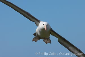 Black-browed albatross in flight, against a blue sky.  Black-browed albatrosses have a wingspan reaching up to 8', weigh up to 10 lbs and can live 70 years.  They roam the open ocean for food and return to remote islands for mating and rearing their chicks. Steeple Jason Island, Falkland Islands, United Kingdom, Thalassarche melanophrys, natural history stock photograph, photo id 24242