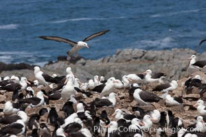 Black-browed albatross in flight, over the enormous colony at Steeple Jason Island in the Falklands. Falkland Islands, United Kingdom, Thalassarche melanophrys, natural history stock photograph, photo id 24211