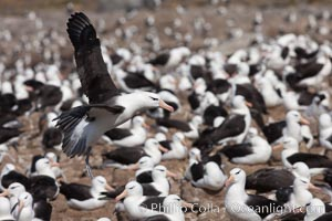 Black-browed albatross in flight, over the enormous colony at Steeple Jason Island in the Falklands. Steeple Jason Island, Falkland Islands, United Kingdom, Thalassarche melanophrys, natural history stock photograph, photo id 24243