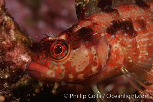 Island kelpfish. Coronado Islands (Islas Coronado), Baja California, Mexico, Alloclinus holderi, natural history stock photograph, photo id 01025
