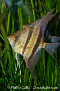 Altum angelfish., Pterophyllum altum, natural history stock photograph, photo id 09814
