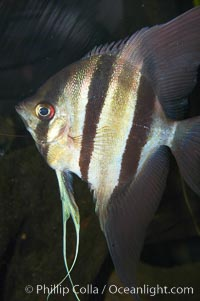 Altum angelfish., Pterophyllum altum, natural history stock photograph, photo id 13975