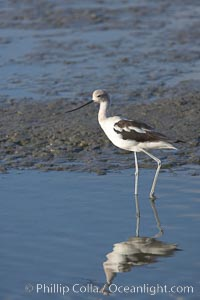 American avocet, forages on mud flats, Recurvirostra americana, Upper Newport Bay Ecological Reserve, Newport Beach, California