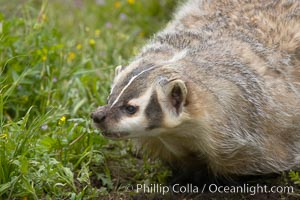 American badger.  Badgers are found primarily in the great plains region of North America. Badgers prefer to live in dry, open grasslands, fields, and pastures., Taxidea taxus, natural history stock photograph, photo id 15951