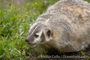 American badger.  Badgers are found primarily in the great plains region of North America. Badgers prefer to live in dry, open grasslands, fields, and pastures., Taxidea taxus, natural history stock photograph, photo id 15949