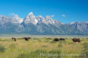 Bison herd grazes below the Teton Range, Bison bison, Grand Teton National Park, Wyoming