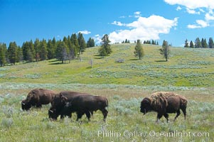 The Hayden herd of bison grazes, Bison bison, Hayden Valley, Yellowstone National Park, Wyoming