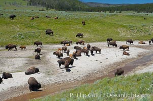 Bison rest in a dry stream bed, Bison bison, Hayden Valley, Yellowstone National Park, Wyoming