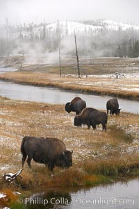 Bison graze along the Firehole River, Bison bison, Yellowstone National Park, Wyoming