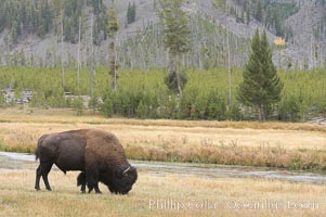 Bison grazes amid grass fields along the Madison River, Bison bison, Yellowstone National Park, Wyoming