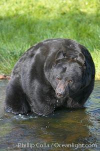 American black bear, adult male, Sierra Nevada foothills, Mariposa, California., Ursus americanus, natural history stock photograph, photo id 15978