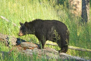 Black bear, Lamar Valley. The black bear is frequently seen in Yellowstone National Park, Ursus americanus