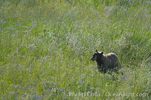 This black bear is wading through deep grass grazing on wild flowers.  Lamar Valley, Ursus americanus, Yellowstone National Park, Wyoming