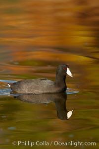 American coot, Fulica americana, Santee Lakes