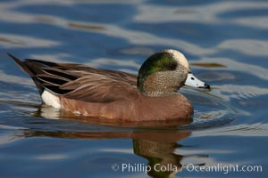 American wigeon, adult breeding plumage. Santee Lakes, Santee, California, USA, Anas americana, natural history stock photograph, photo id 23400