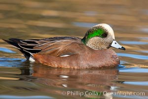 American wigeon, male. Socorro, New Mexico, USA, Anas americana, natural history stock photograph, photo id 26261