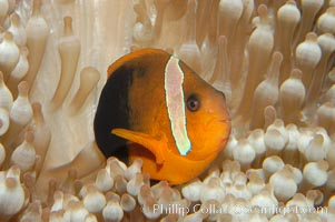 Fire clownfish., Amphiprion melanopus, natural history stock photograph, photo id 08828