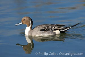 Northern pintail, male, Anas acuta, Upper Newport Bay Ecological Reserve, Newport Beach, California