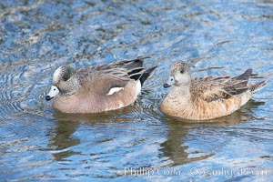American wigeon, male (left) and female (right), Anas americana, Santee Lakes