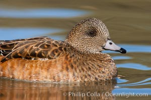 American wigeon, female. Socorro, New Mexico, USA, Anas americana, natural history stock photograph, photo id 26262