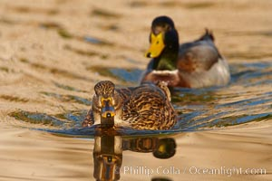 Mallard, female pursued by male, Anas platyrhynchos, Santee Lakes